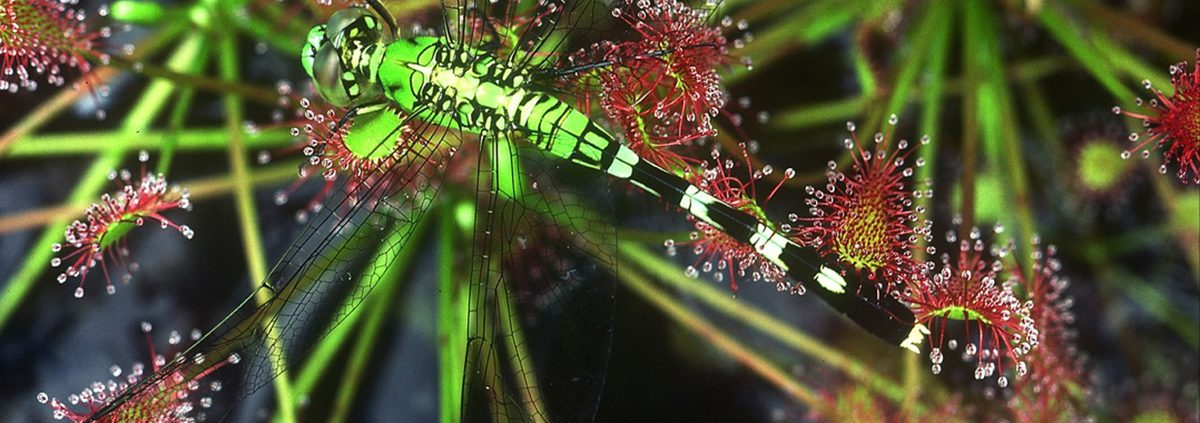 Dragonfly on a Sundew