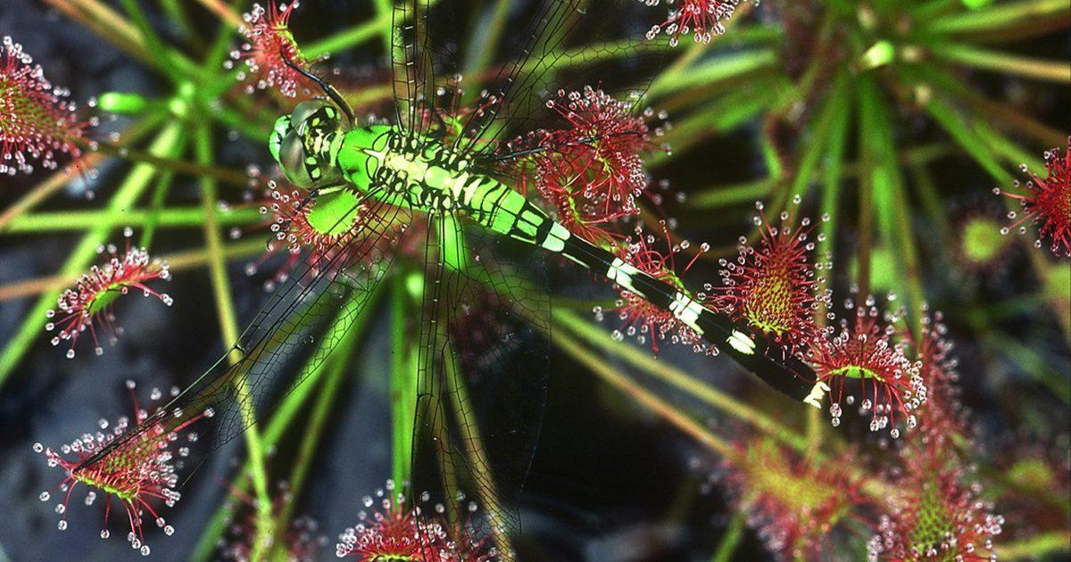 Dragonfly on a Sundew